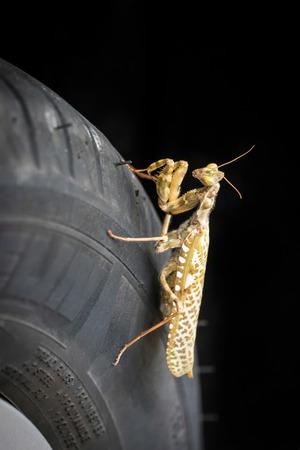 religiosa: Praying Mantis (Mantis religiosa)