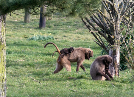 baboon: Gelada Baboon (Theropithecus gelada)