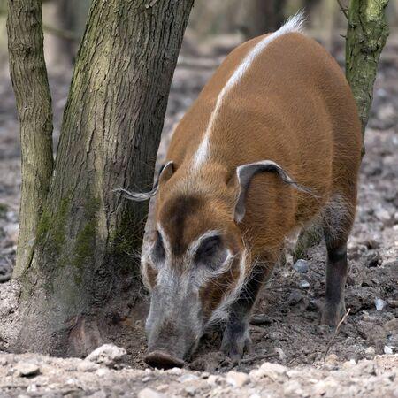 bush hog: Red River Hog (Potamochoerus porcus)