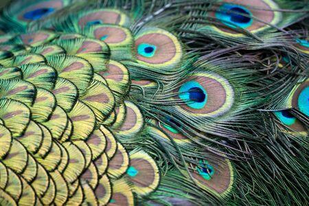 pavo: Peacock (Pavo cristatus)