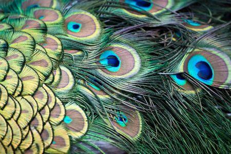 pavo cristatus: Peacock (Pavo cristatus)