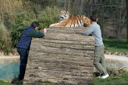 enclosure: Two men in Siberian Tiger (Panthera tigris altaica) enclosure Stock Photo