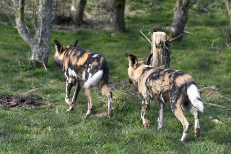 lycaon pictus: African Wild dog (Lycaon pictus) Stock Photo