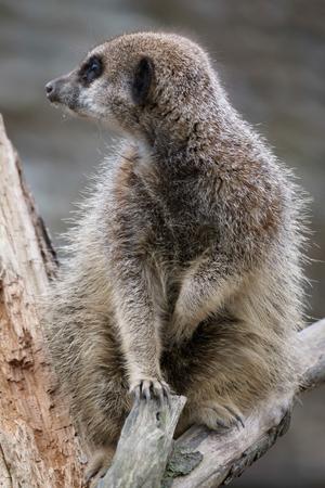suricatta: Slender-tailed Meerkat (Suricatta suricatta)