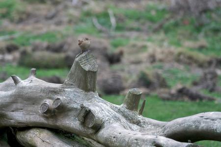 troglodytes: Wren (Troglodytes troglodytes)