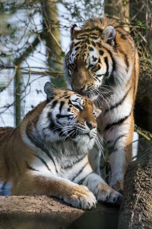 siberian tiger: Siberian Tiger (Panthera tigris altaica)