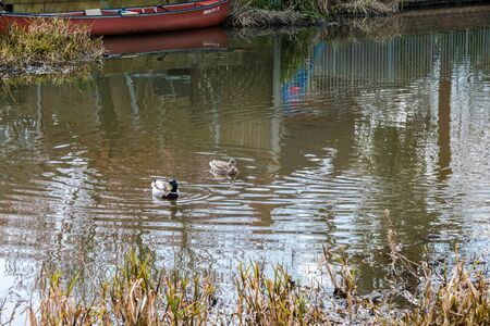 platyrhynchos: A pair of Mallards (Anas platyrhynchos) on the Wey Navigations Canal
