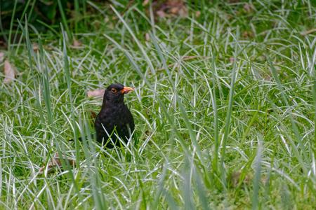 Blackbird (Turdus merula) in the grass