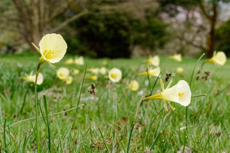 petticoat: Lemon Yellow Hoop Petticoat Daffodil (Narcissus bulbocodium)