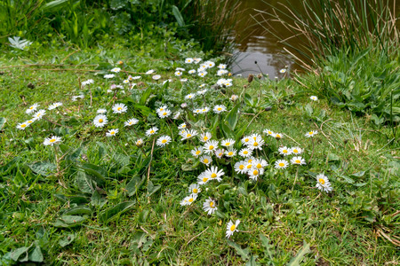 mass flowering: Group of Daisies