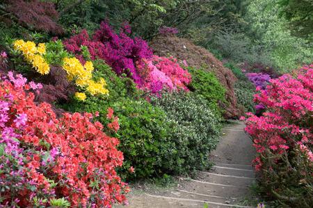 in bloom: Azaleas in Full Bloom Stock Photo