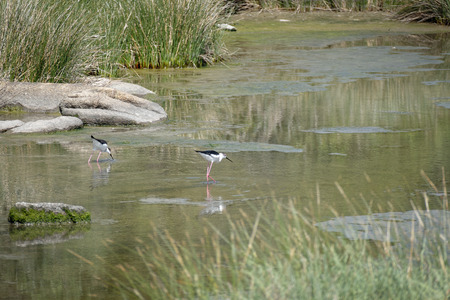 himantopus: Black-winged Stilt, Common Stilt, or Pied Stilt (Himantopus himantopus)