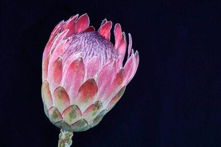 protea flower: Protea flower