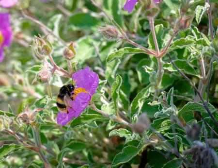Bee on a Cretan Rock Rose (Cistus creticus L.) photo