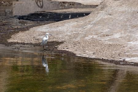 ardeidae: Little Egret (Egretta garzetta)  in Sardinia Stock Photo