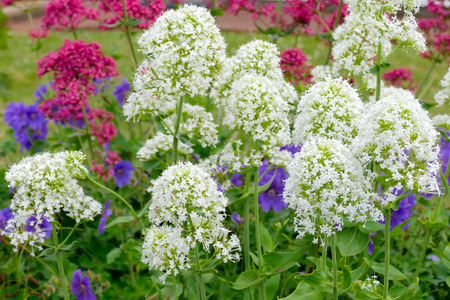 plantlife: Red and White Valerian (Centranthus ruber) Stock Photo
