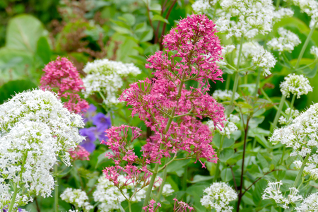 Red and White Valerian (Centranthus ruber) Stock Photo