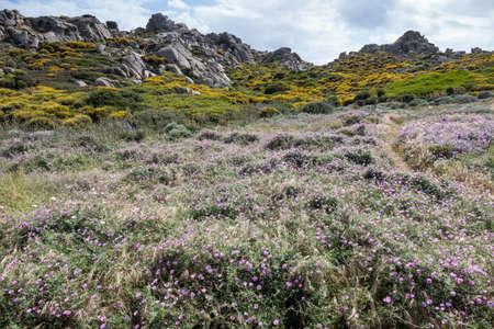 capo: Wild flowers at Capo Testa Sardinia