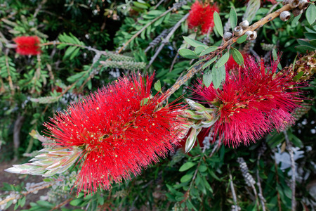 callistemon: Bottlebrush Tree (Callistemon) flowering in Sardinia