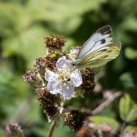pieris: Large White (Pieris brassicae) Butterfly Female Feeding on a Blackberry Flower Stock Photo