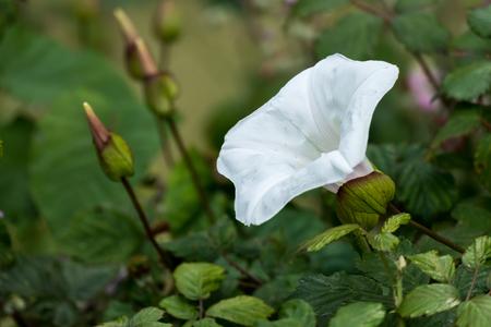 bindweed: Convolvulus arvensis (field bindweed)