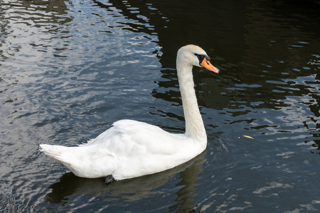 wildfowl: Swan on the Kennet and Avon Canal near Aldermaston Berkshire