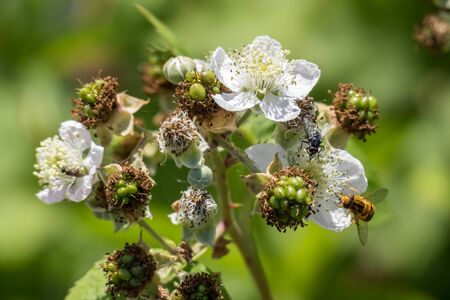 syrphid fly: Hoverfly (Eupeodes corolae) on Blackberry Flower