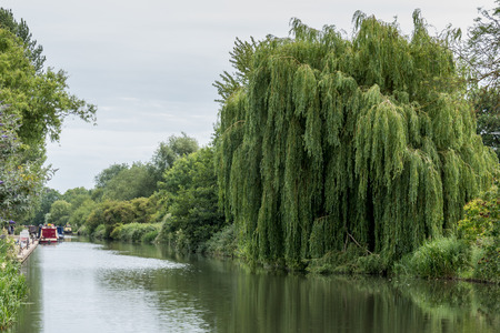 berkshire: Willow tree on the Kennet and Avon Canal in Aldermaston Berkshire on July 5, 2015. Unidentified people.