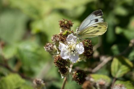 brassicae: Large White (Pieris brassicae) Butterfly Female Feeding on a Blackberry Flower Stock Photo