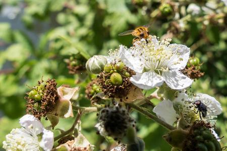 Hoverfly (Eupeodes corolae) on Blackberry Flower