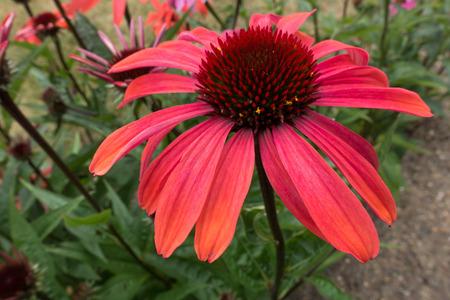 echinacea: Red Echinacea flower Stock Photo