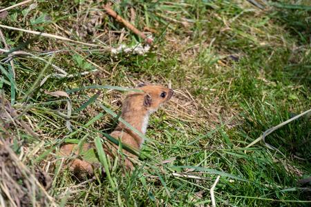 nivalis: Least Weasel (Mustela nivalis)