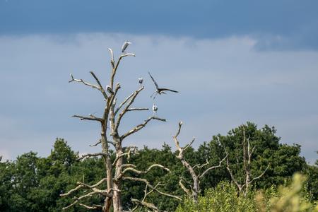 herons: Grey Herons (Ardea cinerea) perched on a dead tree