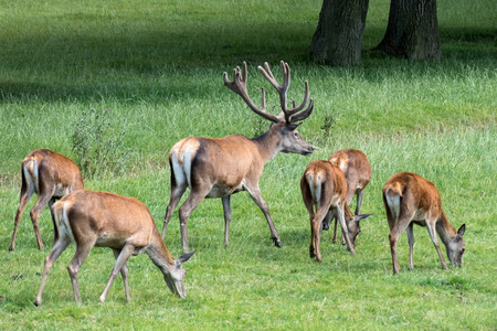 herd of deer: Herd of Red Deer (Cervus elaphus) Stock Photo
