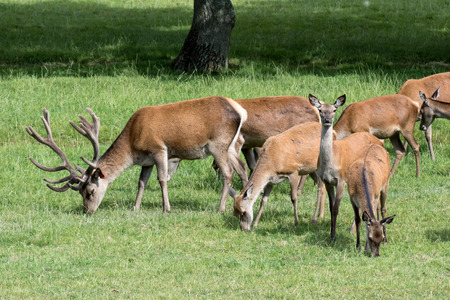 cervus: Herd of Red Deer (Cervus elaphus) Stock Photo