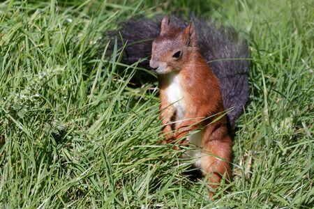 fluffy tuft: Eurasian Red Squirrel (Sciurus vulgaris)