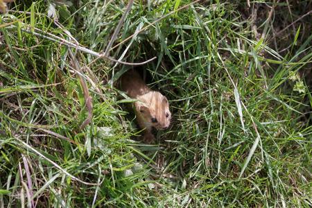 stoat: Least Weasel (Mustela nivalis)