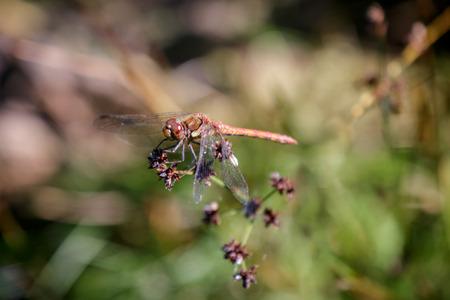 sympetrum: Common Darter (Sympetrum striolatum) Stock Photo
