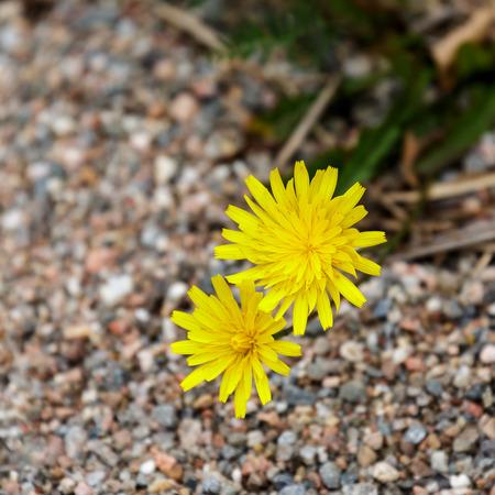 hieracium: Hawkweed (Hieracium caespitosum) flowers