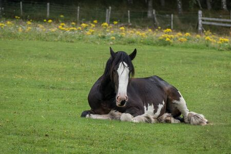 shire horse: Shire Horse laying down in a field in Scotland