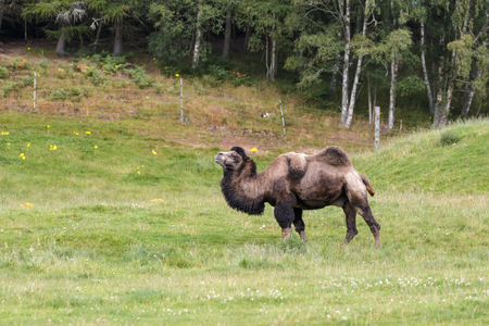 one humped: Bactrian Camel (Camelus bactrianus) Stock Photo