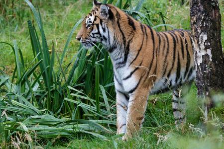 amur: Siberian Tiger (Panthera tigris altaica) or Amur Tiger