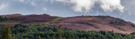 highland: Heather on the Cairngorm Mountain Range