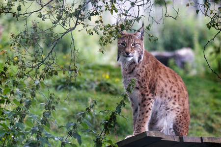 lince: Lynx Norte (Felis lynx lynx)