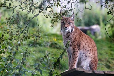 wildanimal: Northern Lynx ( Felis lynx lynx)