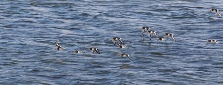 stocky: Oystercatchers (haematopus ostralegus)  flying along the Moray Firth