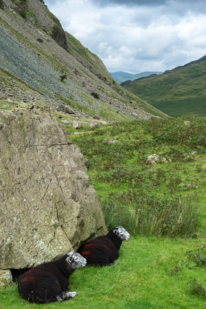 oveja negra: Black sheep at the Honister Pass