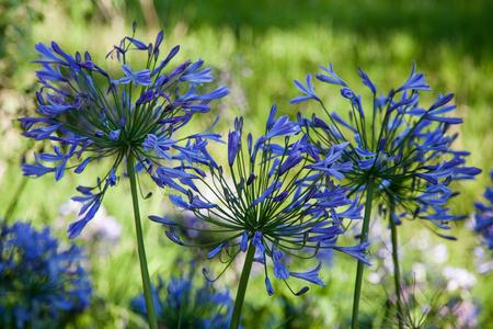 mass flowering: Blue Agapanthus (africanus) Stock Photo