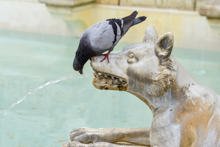 sienna: Pigeon drinking from a wolf in the main square of Sienna Stock Photo