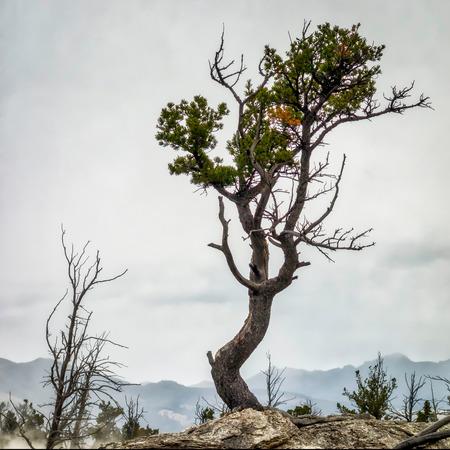 onto: Tree Clinging onto Life at Mammoth Hot Springs